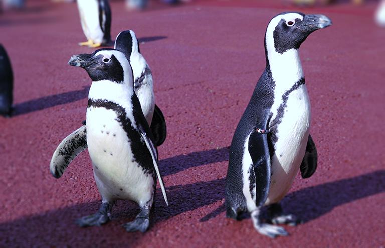 フンボルトペンギンとマゼランペンギンの写真 「ペンギンの飼い方」組立通信LLC.
