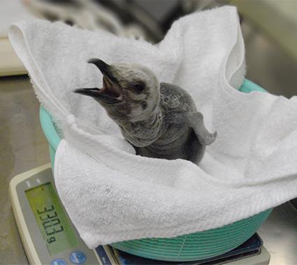 ペンギンのヒナが体重測定する写真 「ペンギンの飼い方」組立通信LLC.
