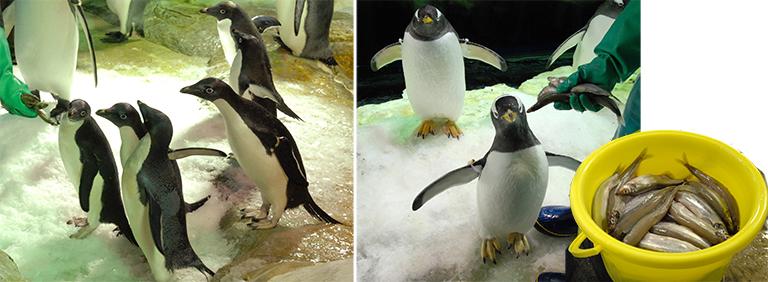 食事中のアデリーペンギンとジェンツーペンギンの写真 「ペンギンの飼い方」組立通信LLC.