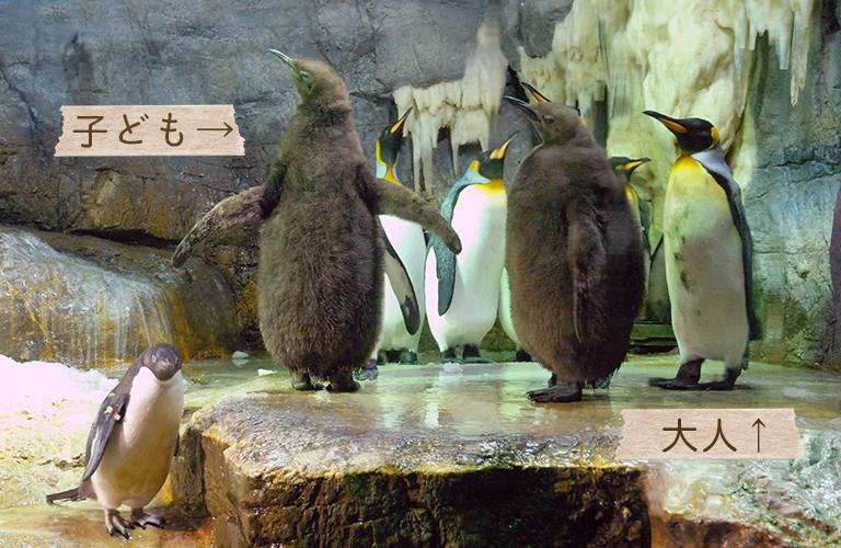 キングペンギンの大人と子供の写真 「ペンギンの飼い方」組立通信LLC.