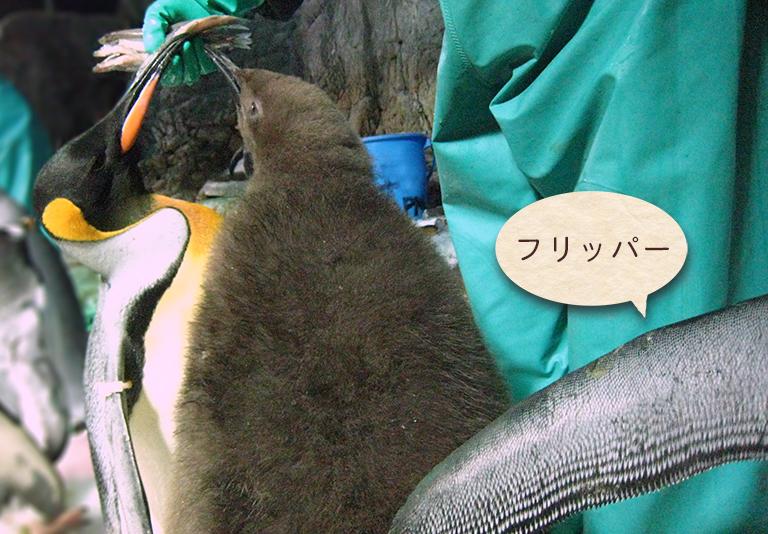 オウサマペンギン親子の食事タイムとフリッパー写真 「ペンギンの飼い方」組立通信LLC.